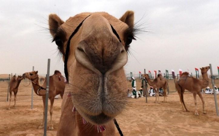 Doze camelos banidos de concurso de beleza por uso de botox